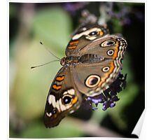 Common Buckeye Junonia Coenia Poster