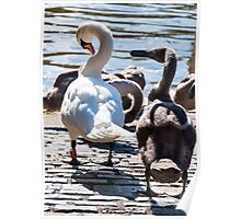 Beautiful swan familiy with nestlings in lake Poster