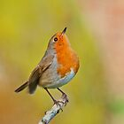 European  Robin by M.S. Photography & Art