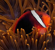 Tomato Anemonefish by Henry Jager