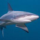 Galapagos Shark by Erik Schlogl