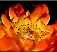 Flaming Rose by Chet  King