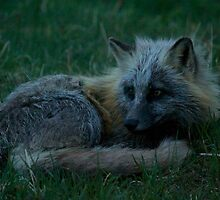Photo of Fox in the Grass by griffingphoto