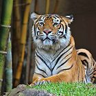 Tiger by Sharon Brown