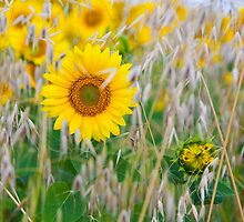 The live of the sunflowers 1 by denomorrison