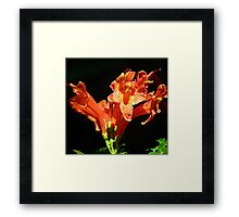 Cape Honeysuckle In Sunlight Framed Print