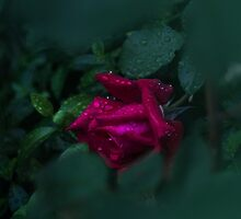 The Faded Rose by Captured Moments