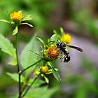 Bald Faced Hornet by Scott Mitchell