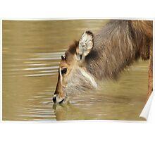 Waterbuck Gold - Pleasure of Life Poster