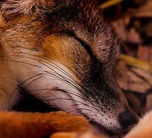 Night Night Mr Fox by ncp-photography