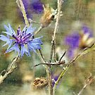 Cornflower by Astrid Ewing Photography