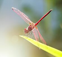 Red Dragonfly by lightwanderer
