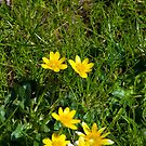 buttercups in a lush green garden lawn by morrbyte
