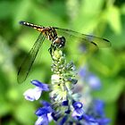Dragonfly on Sage by ?? B. Randi Bailey