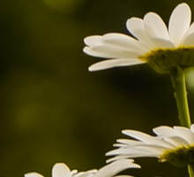 DAISIES THAT STAND OUT Sticker