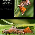 Willow Finned Prominent moth caterpillar by DigitallyStill