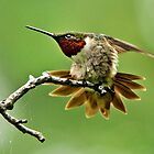 Ruby Throated Hummingbird by Christina Rollo