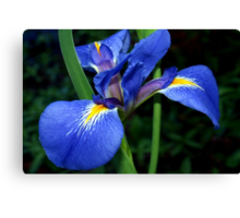 Blue flag beauty Canvas Print