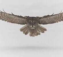 Great Grey Owl in flight by Josef Pittner