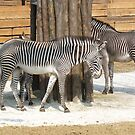 Can you see me? 3 zebras by bubblehex08
