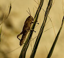 Wild Grashopper on Palm Leaves - Macro/Nature Photography by JuliaRokicka