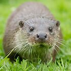Inquisitive otter by Anthony Brewer