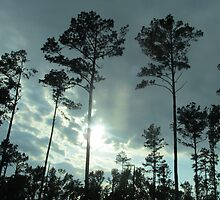 Tall Pines At Sunset by danleonard1953