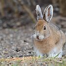 Snowshoe Hare #2 by Jeannine St-Amour