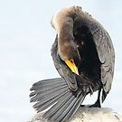 Juvenile Double-crested Cormorant by Jeannine St-Amour