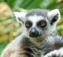 Thoughtful Ring-tailed Lemur 2 by Margaret Saheed