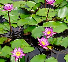 A beautiful water lily pond 3 by jwwallace