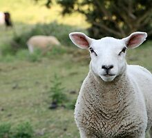 A Curious Sheep from Rye England by Circe Lucas