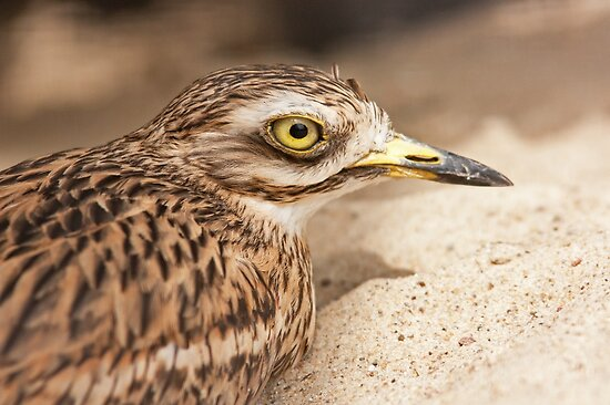 Stone-Curlew by Dominika Aniola