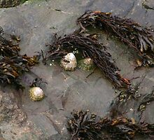 Limpets by GreyFeatherPhot