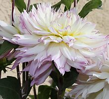 Creamy Dahlia With Lavender Fringed Petals by Sandra Foster