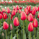 Tulips fields  by Melissa Dickson