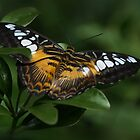 Brown Clipper...Parthenos sylvia by Poete100