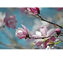 Sugar Magnolia Photographic Print