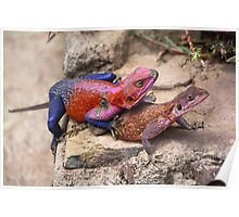 East African Rainbow Agama Lizards Mating Poster