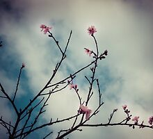 Spring apricot blossom by Michelle Abel