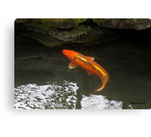 Beautiful Koi ~ Trying to Hide Canvas Print