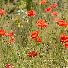 Poppies grow wild by Ashley Beolens