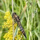 Black-tailed Skimmer by Ashley Beolens