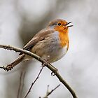 Robin Red Brest by Ashley Beolens