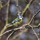 Blue Tit by Ashley Beolens