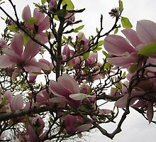 Pink Magnolia in Flower by fixitsally
