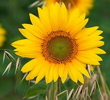 The live of the sunflowers 2 by denomorrison