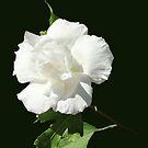 Rose of Sharon by vette