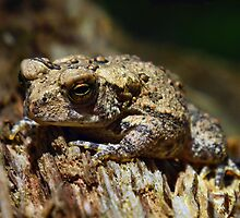 Brown Toad by BonnieToll