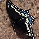Butterfly - Black Swallowtail by BonnieToll